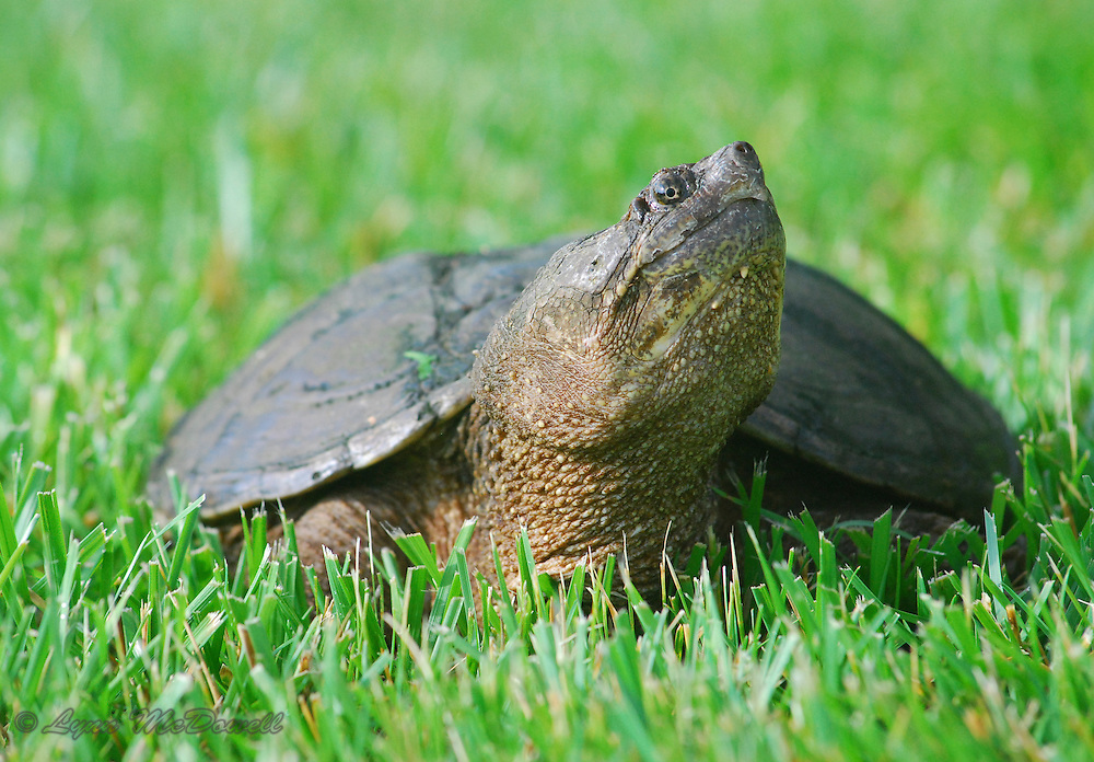 Snapping Turtle mom coming into the yard looking for a place to lay her eggs. I thought she posed for the camera quite nice.