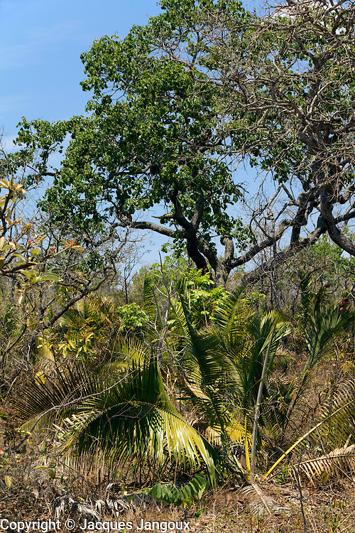 Savanna (called  cerrado in Brazil) biome, Goias - Minas Gerais - Bahia State, Brazil. Stemless palm is Attalea geraensis.