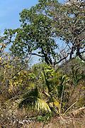 Savanna (called  cerrado in Brazil) biome, Goias - Minas Gerais - Bahia State, Brazil. Stemless palm is Attalea geraensis.