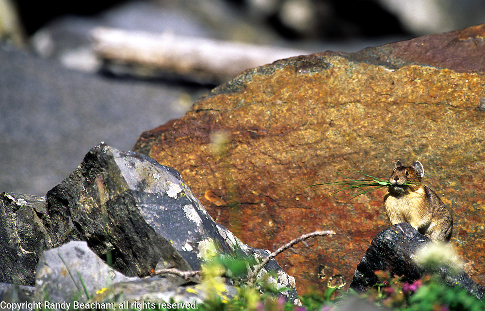 Rock pika in a talus slope in early fall. Northwest Peak Scenic Area in the Purcell Mountains, northwest Montana.