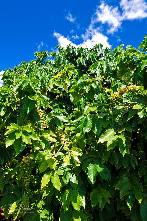 Coffee trees at the Kauai Coffee Company, Island of Kauai, Hawaii