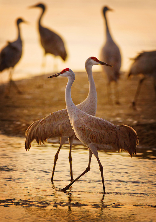 Cranes walk through the shallow water of the Platte River shortly before sunset near The Crane Trust, which is close to Wood River, Neb. on Tuesday, March 13, 2012. The river provides cranes with a safe place from predators for rest at night.