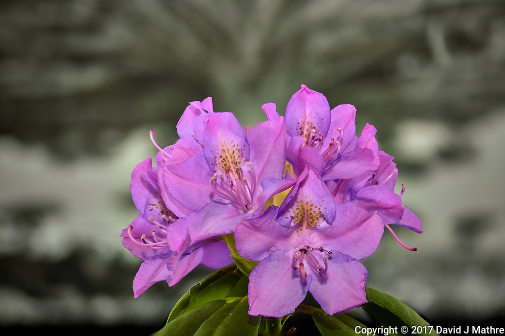 Cluster of rhododendron blooms in a light box. Composite of 18 focus stacked images taken with a Nikon Df camera and 105 mm f/2.8 VR macro lens (ISO 100, 105 mm, f/4, 1/125 sec). Focus composite processed with Helicon Focus (Method A, R=8, S=4)