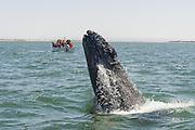 Gray Whale <br /> Eschrichtius robustus<br /> Calf breaching<br /> San Ignacio Lagoon, Baja California, Mexico