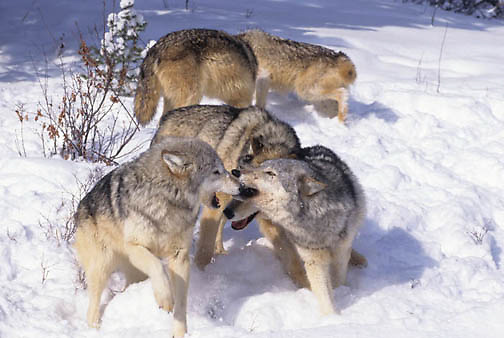 Gray Wolf, (Canis lupus) Greeting each other. Winter. Rocky mountains. Montana.  Captive Animal.
