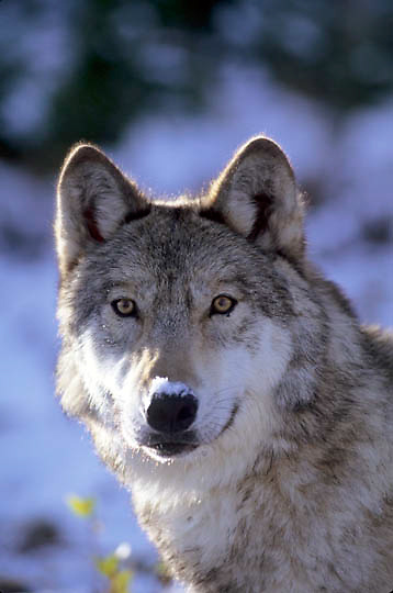 Gray Wolf, (Canis lupus) Portrait of adult.  Captive Animal.
