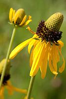 Yellow Coneflower (Rudbeckia grandiflora), Austin County, Texas