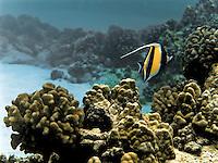 Moorish Idol swims north over reef off coast of Kona, HI.  Copyright 2008 Reid McNally.