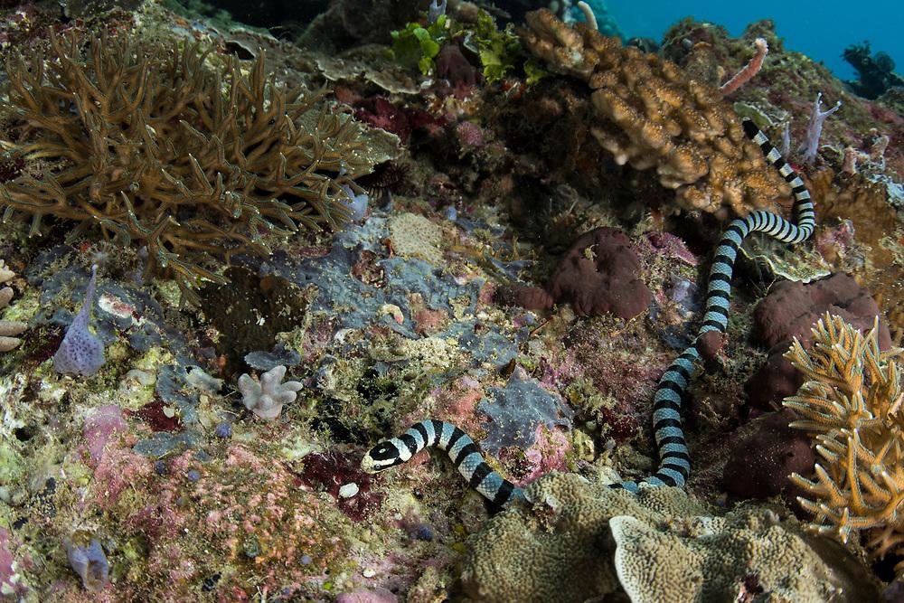 Yellow-lipped sea krait (Laticauda colubrina)<br /> Raja Ampat<br /> West Papua<br /> Indonesia