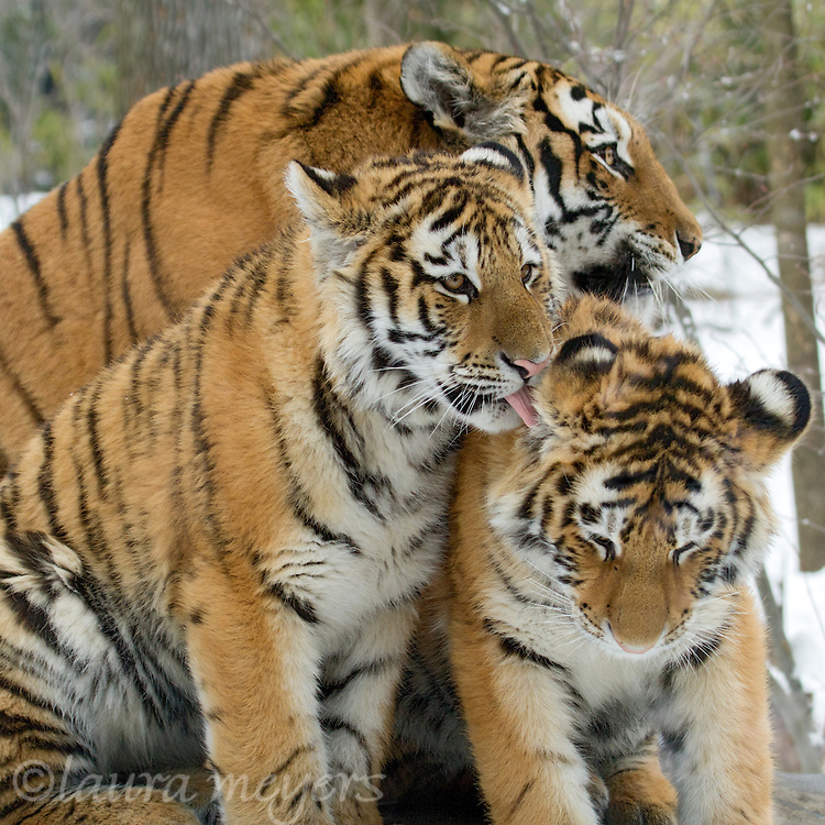 Siberian Tigers Three (Captive)