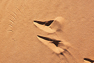 Bird footprints in desert sand, Sahara desert, Morocco.