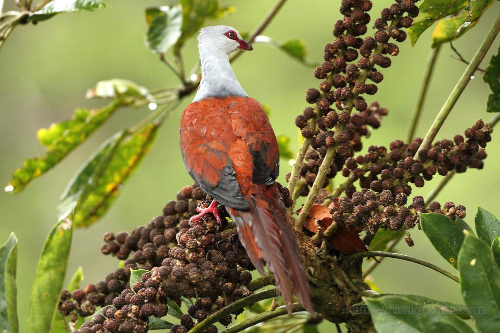 Bar-necked Cuckoo-Dove, (Large Cuckoo-Dove), Macropygia magna, Papua New Guinea, by Markus Lilje