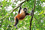The Central American Spider Monkey has a stronger prehensile tail than any other mammal in the world. The tail can support the monkey's entire body weight and the animals uses it, along with powerful arms, to swing almost effortlessly through the canopy. When these animals travel with their tail and four limbs in constant motion, it is easy to understand how their common name originated. Photographing this species is demanding because they are almost always on the move. I got a clear shot of this individual in Corcovado National Park when it seemed to pause for thought in mid-swing.<br /> <br /> For sizes and pricing click on ADD TO CART (above).