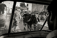 Cows on the street in Varanasi (Benares), India.