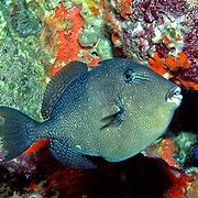Gray Triggerfish inhabit reefs and areas of sand, rubble and seagrass in Tropical West Atlantic; picture taken Gulf of Mexico, Oil Rig.