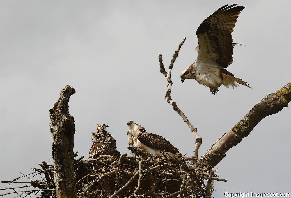 Female osprey in flight returning to nest, chicks 6-7 weeks old