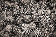 A nice pile of pinecones along the trail on Mount Jumbo.
