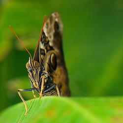 Owl eye butterfly. (Caligo memnon.)