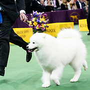 "February 16, 2016 - New York, NY : The Samoyed ""Pebbles' Run Play It Again Ham"" exits the arena after winning the working group final of the 140th Annual Westminster Kennel Club Dog Show at Madison Square Garden in Manhattan on Tuesday evening, February 16, 2016. CREDIT: Karsten Moran for The New York Times"