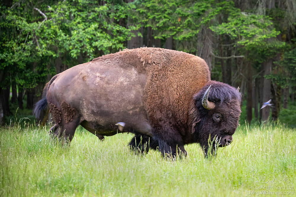 Tree swallows (Tachycineta bicolor) fly around a bison (Bison bison) that's shedding its winter coat, picking off fur that they can use in their nests. This is a captive bison held at Northwest Trek Wildlife Park in Eatonville, Washington.