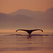 Humpback Whales - Blowing and Sounding