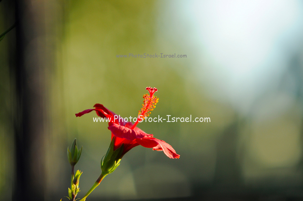 Side view of a Red Hibiscus flower