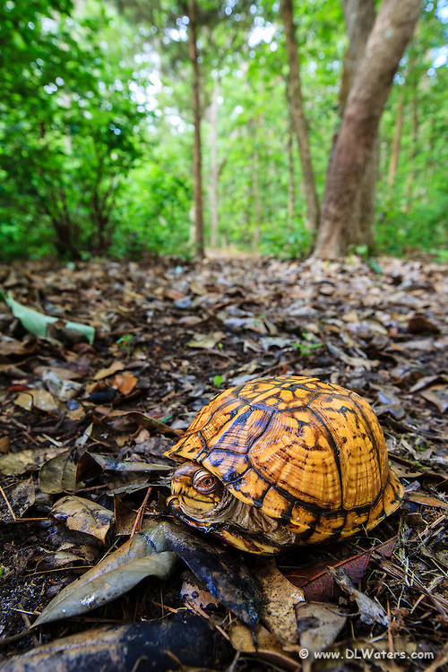 Wide-angle picture of a box turtle in its woodland environment.