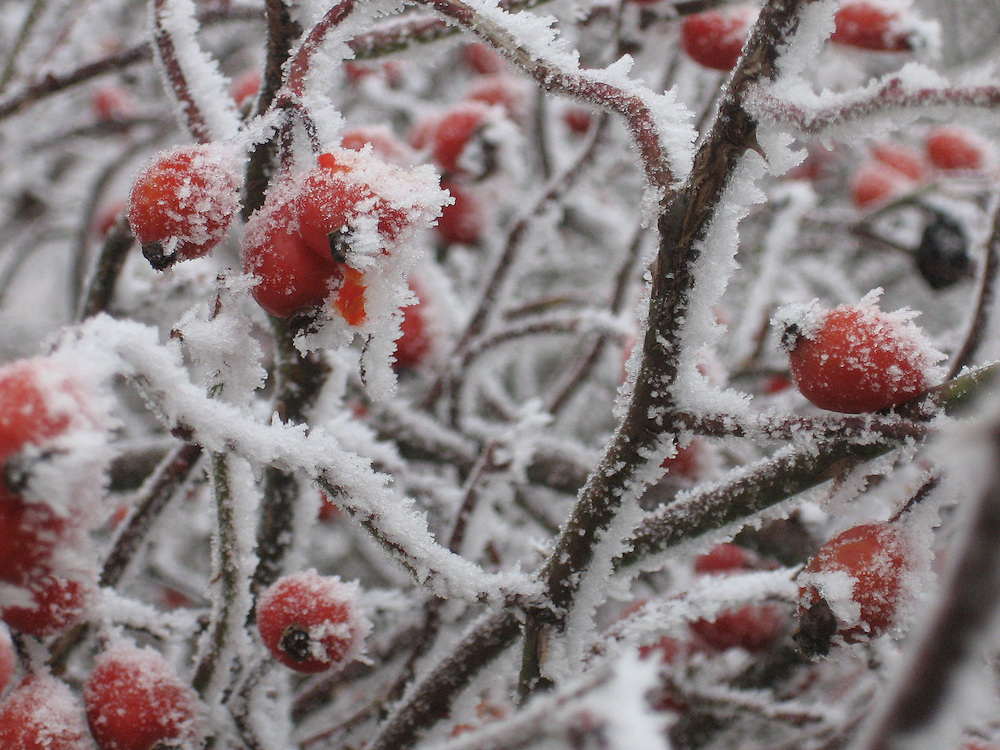 Snow-covered berries on the Weinweg, Vienna, Austria.