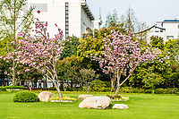 blossom cherry tree gucheng park in the city of Shanghai China popular republic
