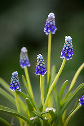 Muscari armeniacum 'Touch of Snow' - Grape hyacinth
