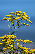 Goldenrod flowers with the sea in the background.