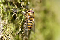 Hover Fly Syphus ribesii, on dry stone wall