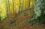 France, Languedoc Roussillon, Gard, Lozère, Cévennes, Aigoual, forêt de hêtres