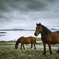 Horses on Malin Head, Inishowen peninsula, Co. Donegal, Ireland.