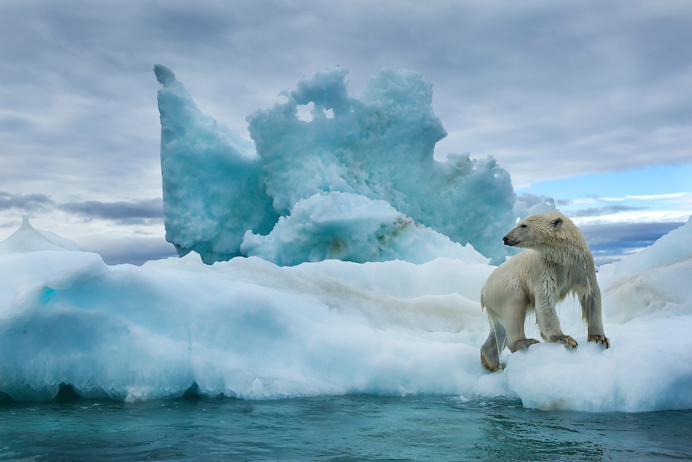 Canada, Nunavut Territory, Repulse Bay, Polar Bear (Ursus maritimus) climbs onto melting iceberg near Harbour Islands
