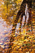 Trees reflected in pond filled with leaves