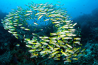 Bigeye Snappers school above a healthy coral reef<br /> <br /> Shot in Indonesia