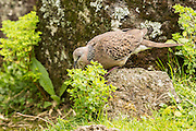 Spotted Dove, Auckland, New Zealand
