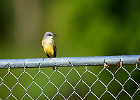 Tropical Kingbird (Tyrannus melancholicus) preched ion a fence, Jocotopec, Jalisco, Mexico