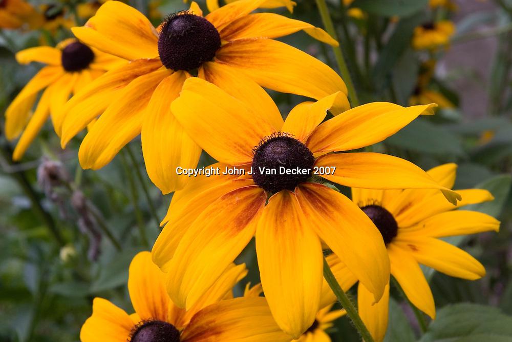 Black Eyed Susan Flowers (horizontal)