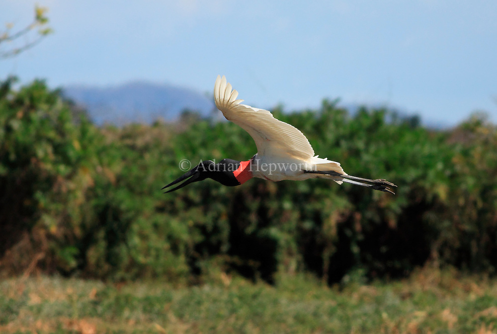 Jabiru (Jabiru mycteria) flying near River Tempisque, Guanacaste, Costa Rica. <br />
