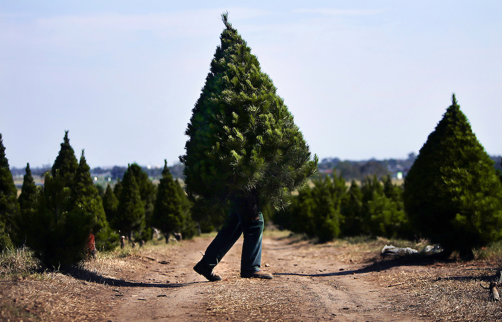 Fabio Iuele busy at work at North Pole Christmas Tree Farm as Christmas draws nearer Pic By Craig Sillitoe...coniferous, trees, carries, carry, carrying This photograph can be used for non commercial uses with attribution. Credit: Craig Sillitoe Photography / http://www.csillitoe.com<br />
