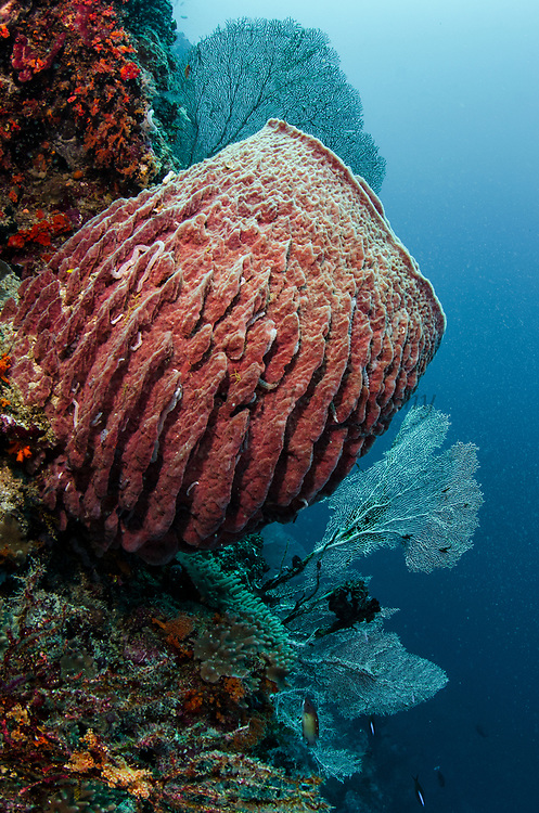 Giant Barrel Sponge (Xestospongia)<br /> &amp; Feather stars<br /> Raja Ampat<br /> West Papua<br /> Indonesia