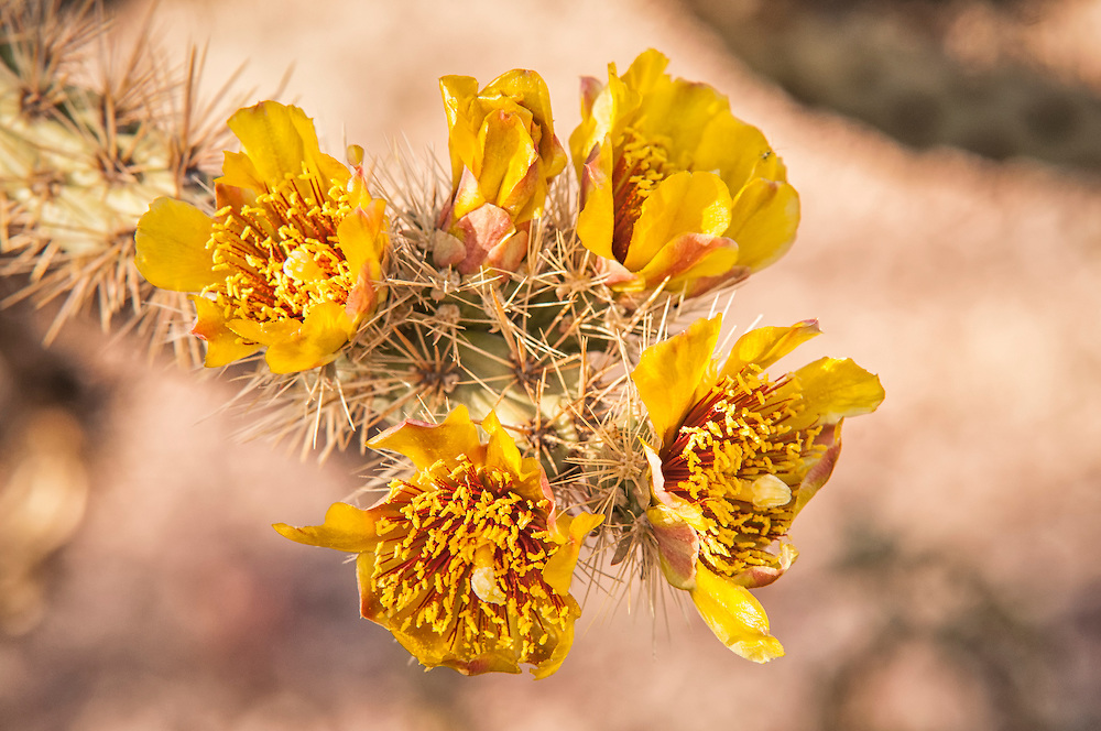 The buckhorn colla is very variable in color from one plant to another. This one was photographed a couple of miles from the Arizona-Mexico border near the Pipe Organ National Monument next to several others that were loaded with fire-orange flowers.