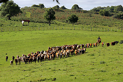 Gaucho conduz seu rebanho bovino após marcação do gado. Foto: Jefferson Bernardes/Preview.com