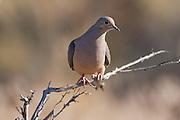 A Mourning Dove (Zenaida macroura)