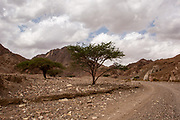 Israel, Arava region,, Umbrella Thorn Acacia (Vachellia tortilis). A medium to large canoped tree native to arid areas in the savannahs of Africa and the Middle East