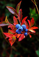 Wild blue berries Canaan Valley, West Virginia