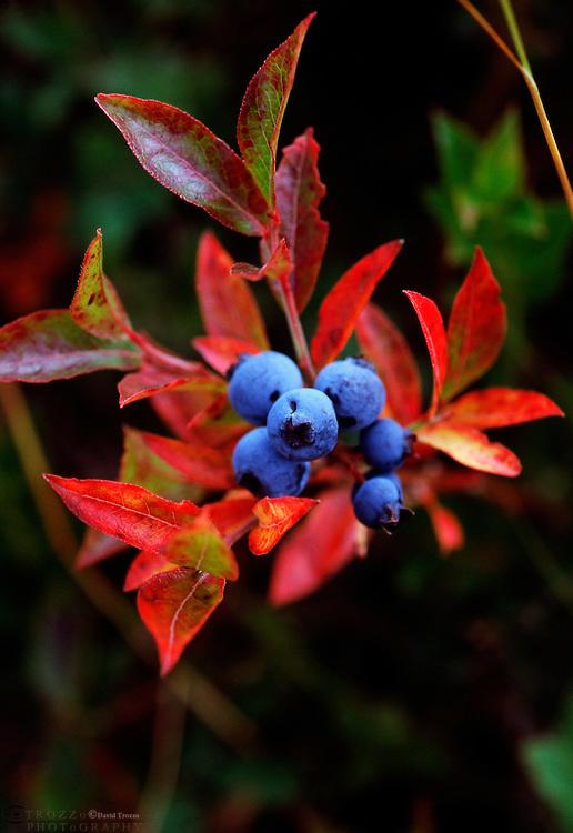 Wild blue berries Canaan Valley, West Virginia