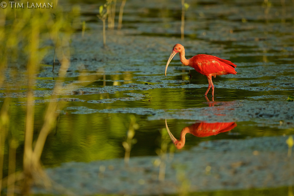 A Scarlet Ibis (Eudocimus ruber) in the mudflats of the orinoco River Delta, Venezuela.